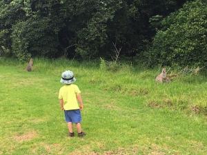 Wallaby watching.