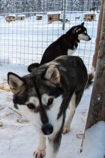 More husky love