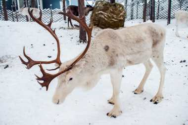Female reindeer have antlers in the winter time, so Santa's reindeer as typically depicted should all be female